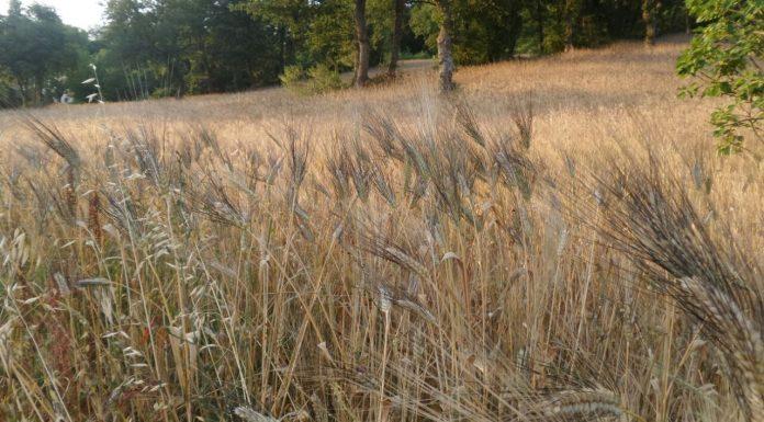 trinacria nobile grano