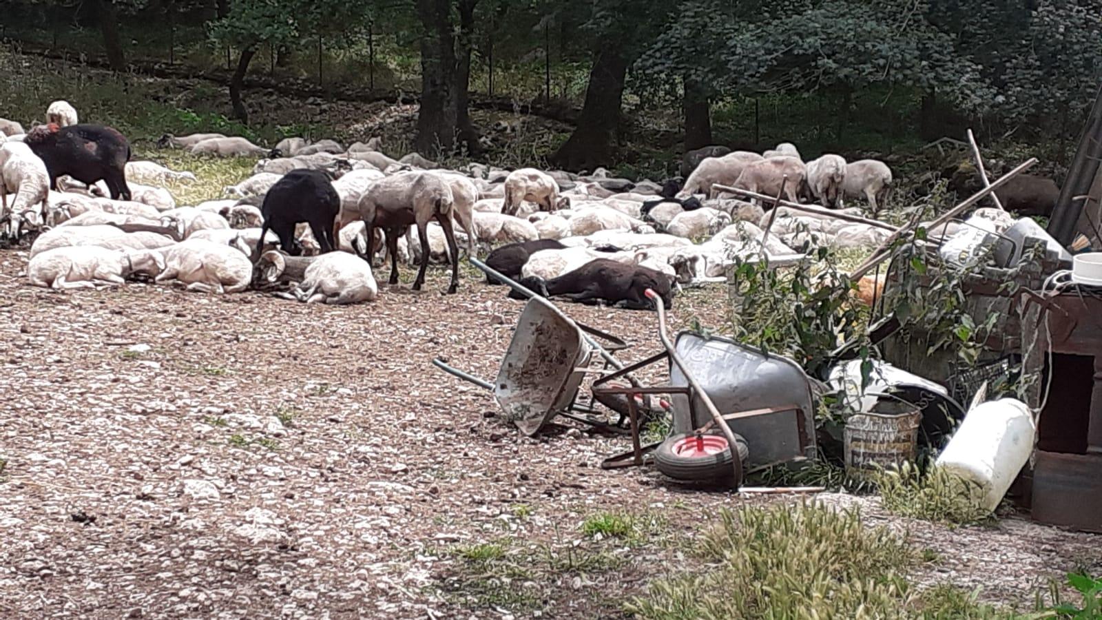 allevatori caprini e ovini