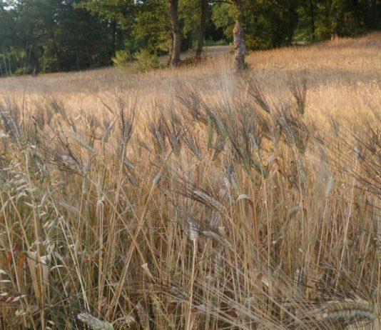 grano e pastifici